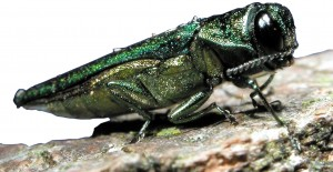 Emerald Ash Borer image from CFIA
