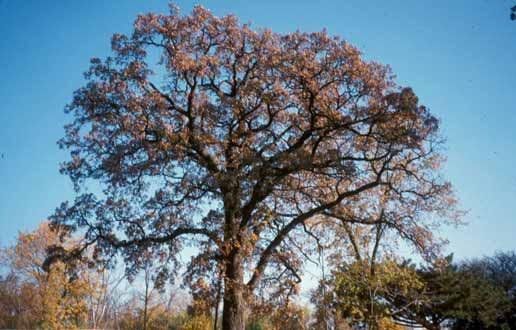 Bur Oak Treescape Certified Arborists