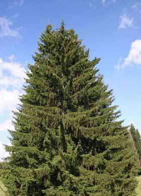 Norway Spruce Treescape Certified Arborists