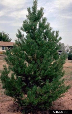 Scots Pine Treescape Certified Arborists