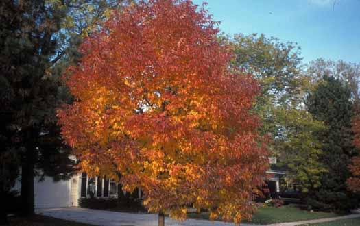 White Ash Treescape Certified Arborists