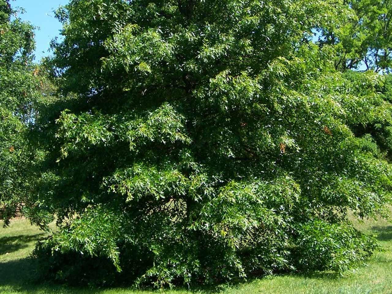 pin-oak
