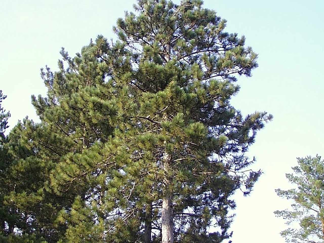 red-pine